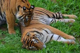 parque-de-la-naturaleza-de-cabarceno-tigres