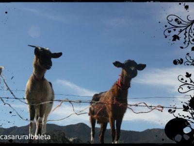 Fotos Llanes. Senda de Samuel en Pria. Cabras