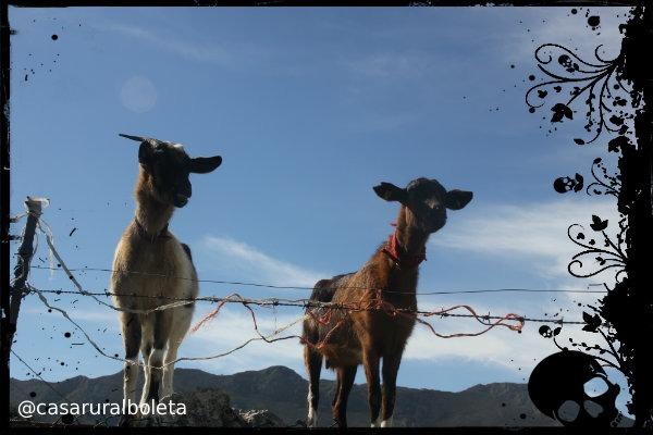 cabras posando en la senda de samuel - Fotos Llanes