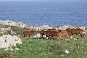 Rebaño de Cabras en la Ruta a los Bufones de Arenillas en Puertas de Vidiago, Llanes.